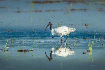 Black-headed ibis(Threskiornis melanocephalus) walking for food