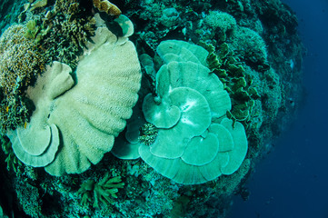 Hard plate coral Acropora in Gorontalo, Indonesia.