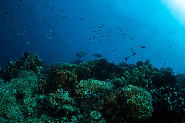 Various hard coral reefs in Gorontalo, Indonesia.