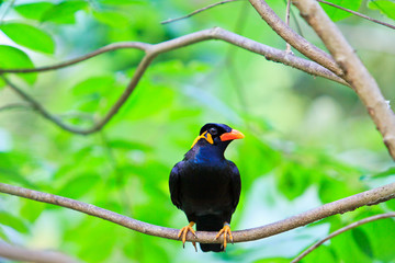 Common Hill Myna bird