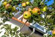 canvas print picture - Apfel am Baum
