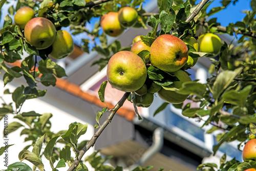 canvas print picture Apfel am Baum