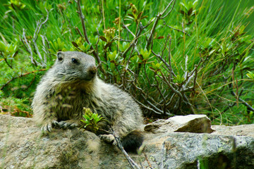 Cucciolo di marmotta su sasso prende il sole