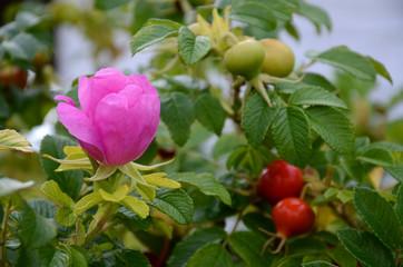 Kartoffel-Rose