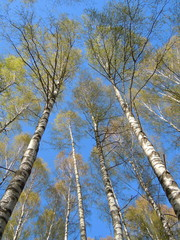 Springtide - blue sky and flourishing birch