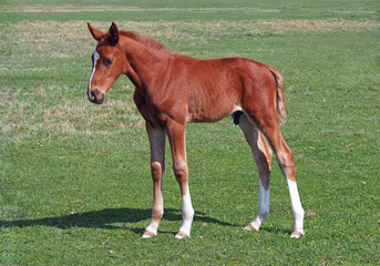 A chestnut foal of sporting breed is on a natural background