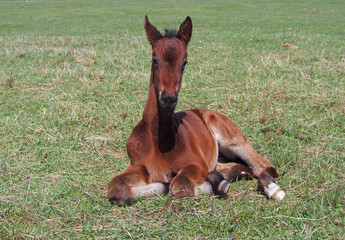 Little bay foal rests on a green meadow