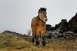 Icelandic horse portrait.