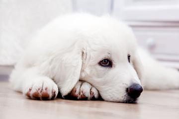 Cute puppy dog lying on wooden floor. Polish Tatra Sheepdog