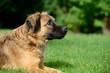 canvas print picture - Brauner Hund