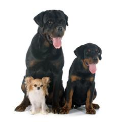 three dogs