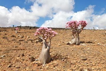 Bottle tree in bloom - adenium obesum - endemic tree of Socotra