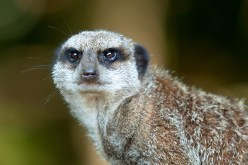 portrait of an alert meerkat 8753