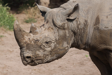 portrait of a black rhino 9014