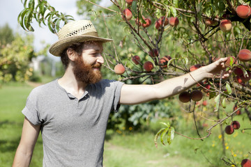 young bearded boy farmer who gathers peaches from the orchard