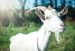 Leinwandbild Motiv Funny goat's portrait