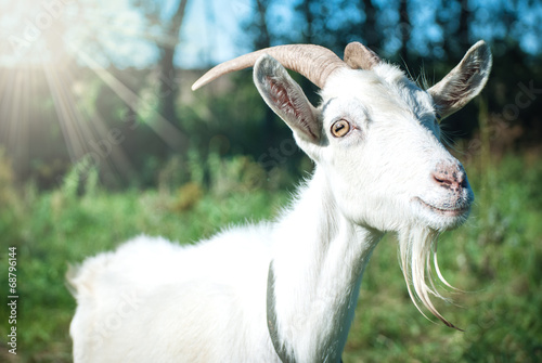 Foto op Canvas Heuvel Funny goat's portrait