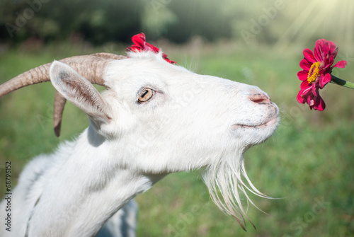 Funny goat's portrait