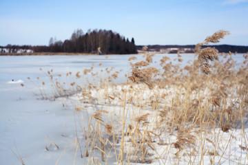 Winter lake bulrush