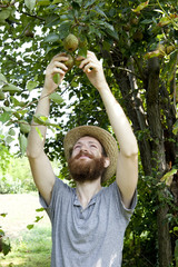 boy farmer who gathers pears from trees with straw hat