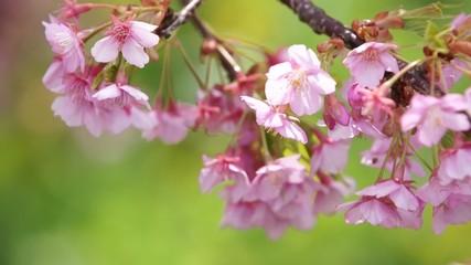 散りはじめの河津桜