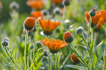 dewy calendula marigold medical flowers in garden