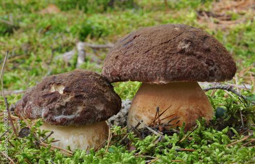 Pine bolete (Boletus pinophilus) - 68800124
