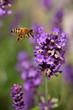 canvas print picture - Honey bee