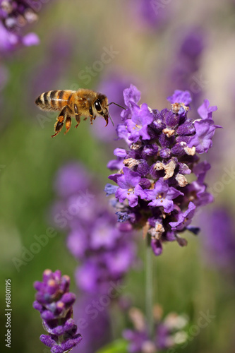 canvas print picture Honey bee