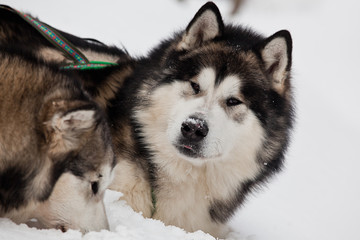 Alaskan Malamute in the snow closeup