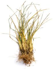 dry grass on white