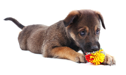 Puppy playing with a toy isolated on white
