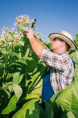 Farmer looks tobacco in the field