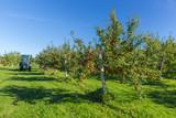 Fototapety Apple Orchard