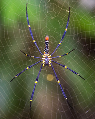 Golden SIlk Orb Weaving Spider waiting on her web