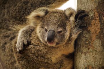 Close up cute Koala
