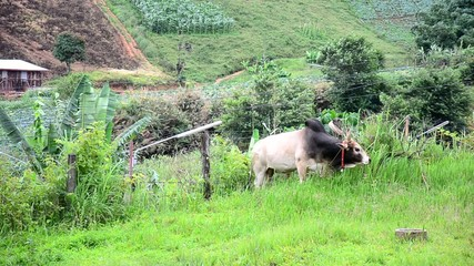Cow on Phu Hin Rong Kla National Park is a national park