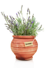 Fresh lavender plant in a clay pot