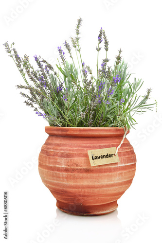 canvas print picture Fresh lavender plant in a clay pot
