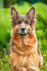 Portrait of german shepherd dog