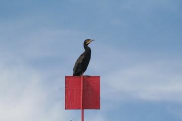 cormoran posé sur un panneau signalisation pour les plaisanciers