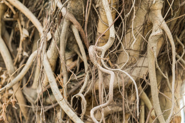 Roots of old tree without ground