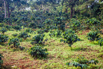 Coffee plantation on Bolaven Plateau in Laos