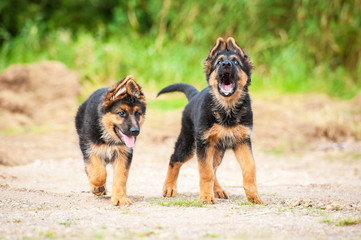 Two german shepherd puppies on the beach