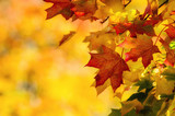 Colorful autumn maple leaves on a tree branch poster