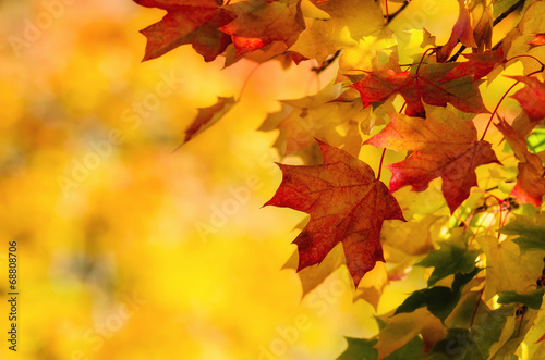 Leinwanddruck Bild Colorful autumn maple leaves on a tree branch