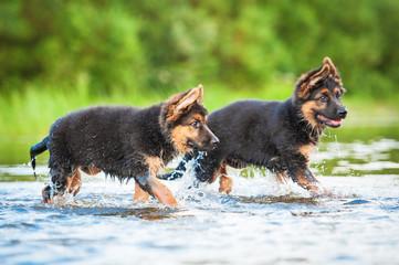 German shepherd puppies running in water