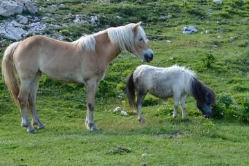 Cavalli 16