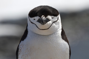 portrait of Antarctic penguin Chinstrap or Antarctic summer day