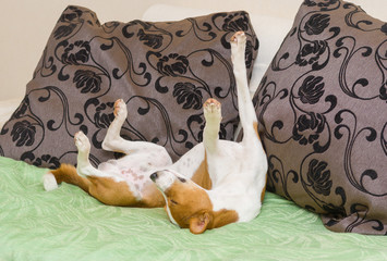 Dormant Basenji dog being in funny sleeping pose